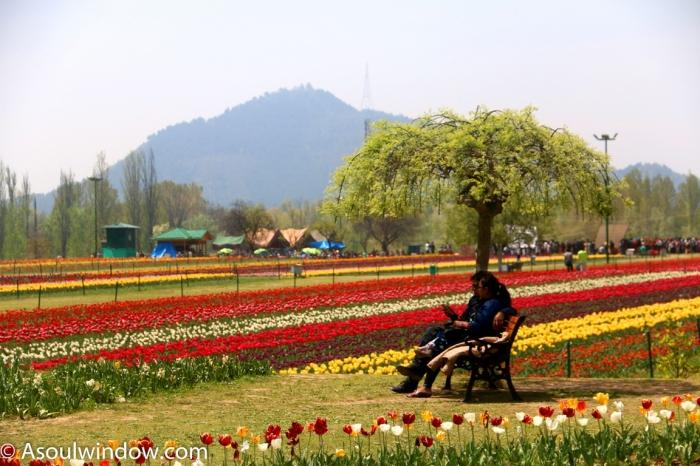 tulip garden aka siraj bagh srinagar kashmir incredible india reminds me of the romantic amitabh rekha song from silsila i hope to see tulip gardens of - Tulip Garden Near Me