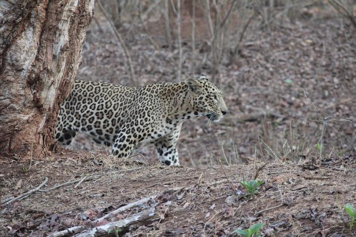 leopard-2236729_960_720