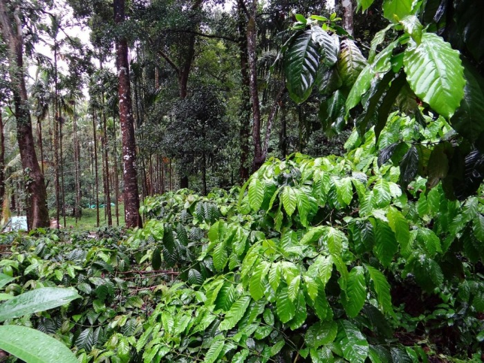 coffee-plantation-345367_1280