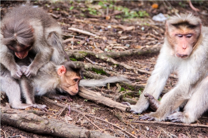 Kodaikanal Tamil Nadu. Monkey
