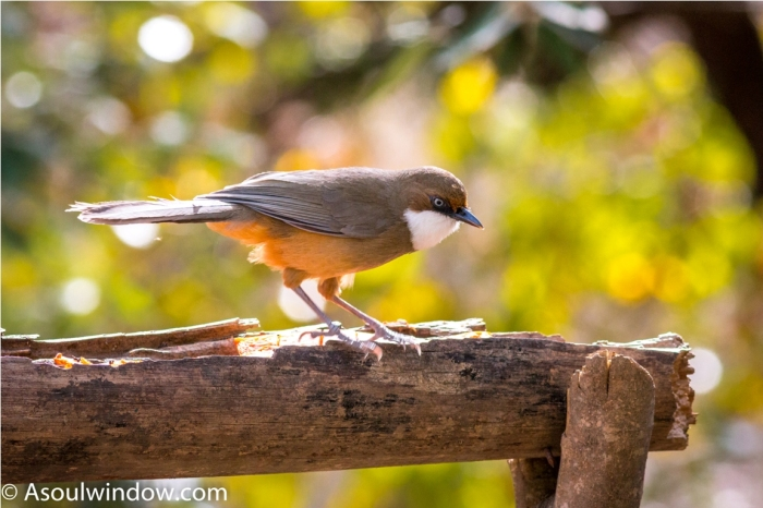 White throated laughingthrush — at Aamod at Bhimtal.