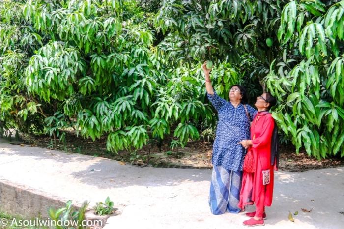 Dussehri Mango Tree Malihabad, kakori, Lucknow. India Kaleem Ullah Khan