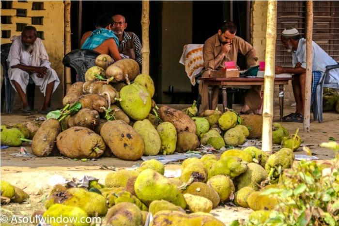 jack Fruit. Dussehri Mango Tree Malihabad, kakori, Lucknow. India Kaleem Ullah Khan