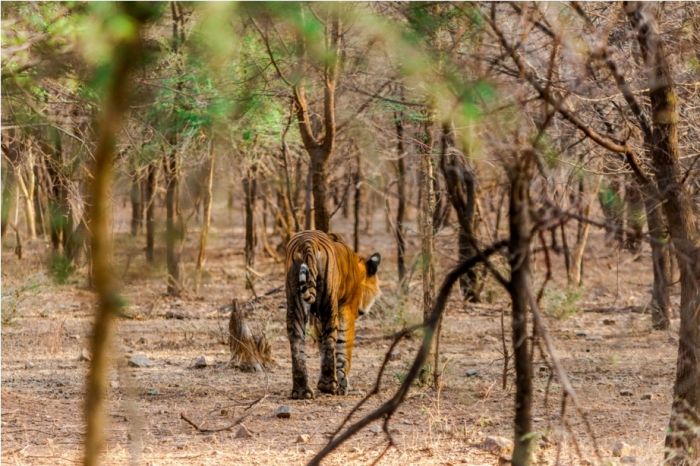 Kumbha T34 Tiger safari, Ranthambore National Park, zone 6 Rajasthan, Incredible India (3)
