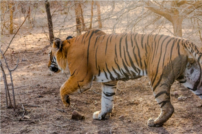 Kumbha T34 Tiger safari, Ranthambore National Park, zone 6 Rajasthan, Incredible India (4)