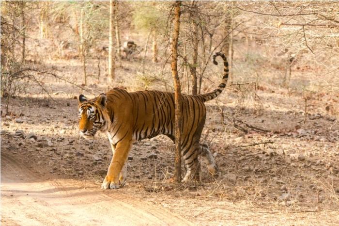 Kumbha T34 Tiger safari, Ranthambore National Park, zone 6 Rajasthan, Incredible India (6)