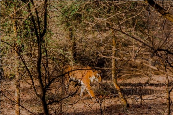 Kumbha T34 Tiger safari, Ranthambore National Park, zone 6 Rajasthan, Incredible India (8)