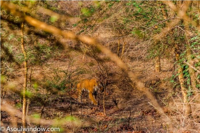 Kumbha T34 Tiger safari, Ranthambore National Park, zone 6 Rajasthan, Incredible India