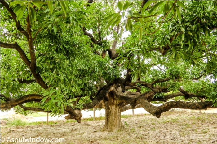Mother tree. Dussehri Mango Tree Malihabad, kakori, Lucknow. India Kaleem Ullah Khan (2)