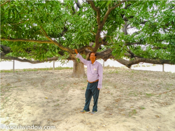 Mother tree. Dussehri Mango Tree Malihabad, kakori, Lucknow. India Kaleem Ullah Khan (3)