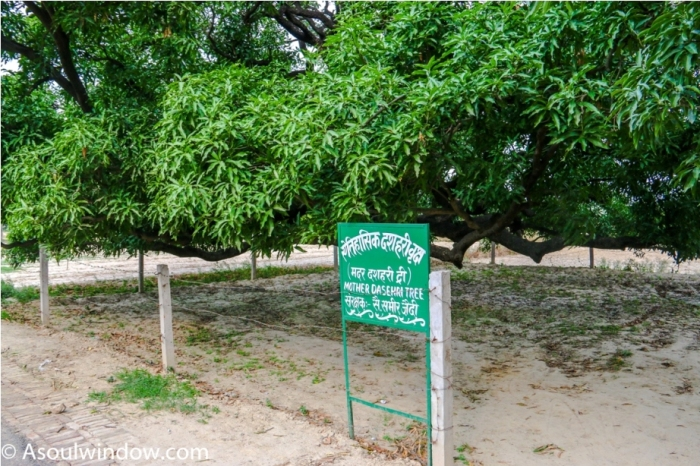 Mother tree. Dussehri Mango Tree Malihabad, kakori, Lucknow. India Kaleem Ullah Khan