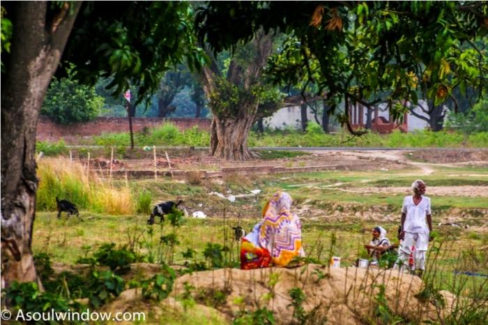 Orchard. Uttar Pradesh. Dussehri Mango Tree Malihabad, kakori, Lucknow. India Kaleem Ullah Khan