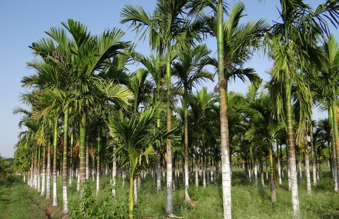 plantation-343921_1280