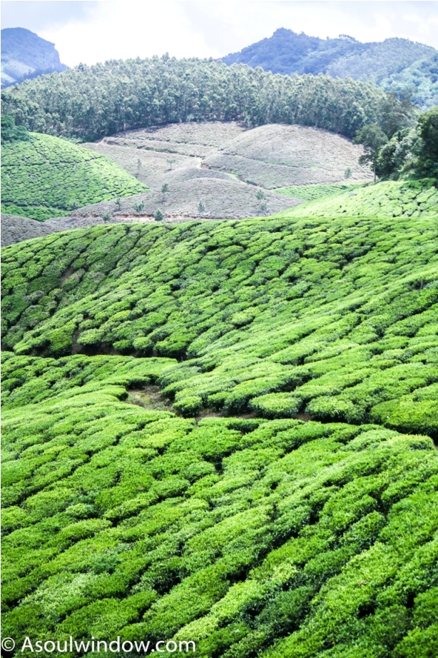 Tea Garden Munnar Kerala Incredible India (3)
