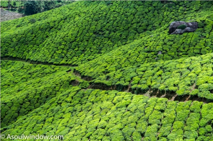 Tea Garden Munnar Kerala Incredible India (4)