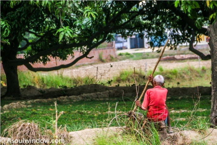 Uttar Pradesh. Dussehri Mango Tree Malihabad, kakori, Lucknow. India Kaleem Ullah Khan (4)