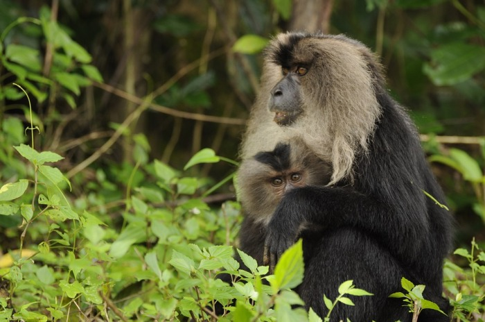 lion-tailed-macaque-2141114_960_720