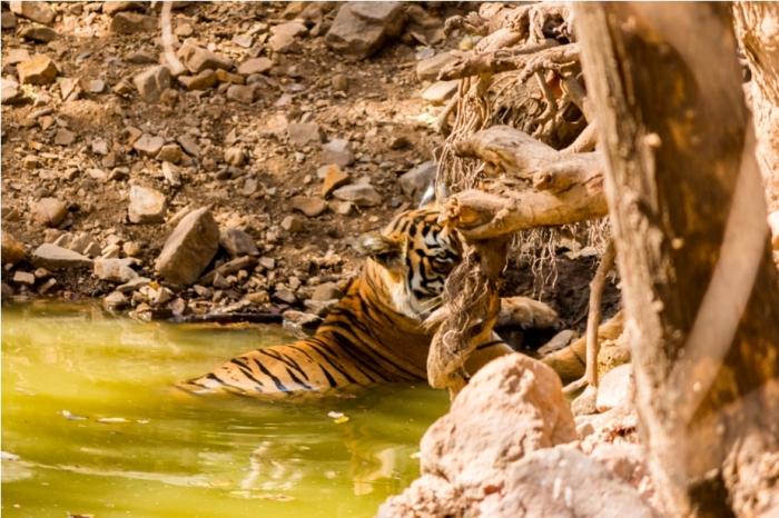 Tiger Lighetening Ranthambore fort Rajasthan India Wildlife (2)