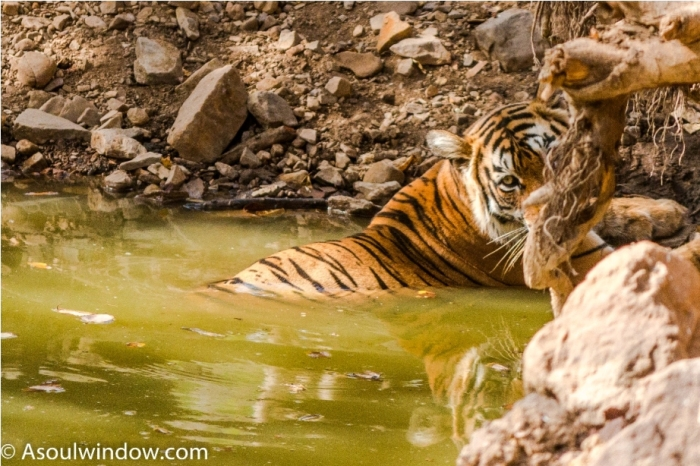 Tiger Lighetening Ranthambore fort Rajasthan India Wildlife (4)