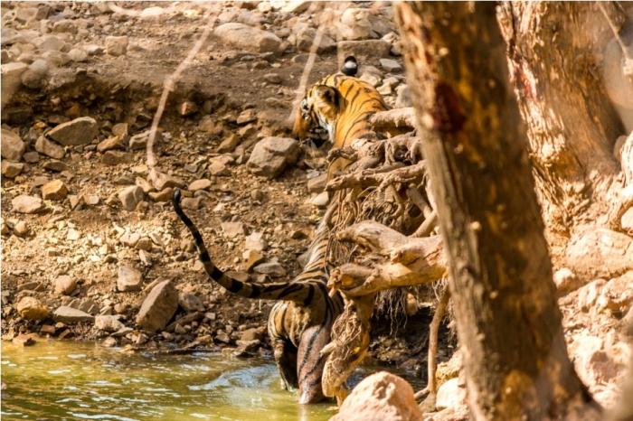 Tiger Lighetening Ranthambore fort Rajasthan India Wildlife (6)