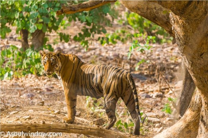 Tiger Lighetening Ranthambore fort Rajasthan India Wildlife (8)