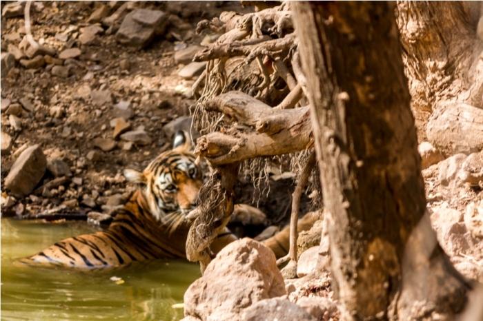 Tiger Lighetening Ranthambore fort Rajasthan India Wildlife