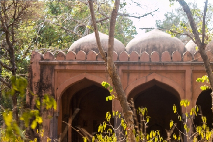 Tiger Ranthambore fort Rajasthan India Wildlife (2)