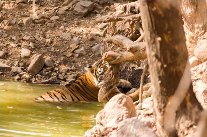 Tiger Ranthambore fort Rajasthan India Wildlife (3)