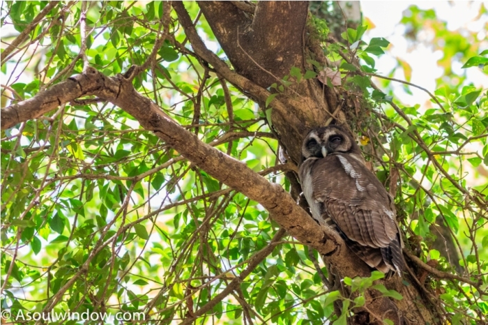 Brown Wood Owl Sattal Bhimtal Nainital Uttarakhand Birdwatching India