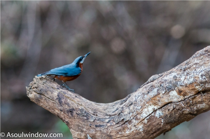 Chestnut bellied nuthatch Birdwatching Sattal Bhimtal Uttarakhand India
