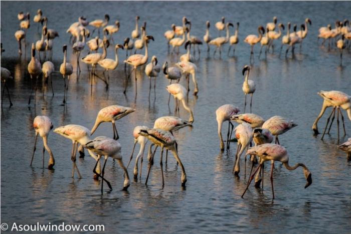 Flamingo Mahabaleshwar Maharashtra India