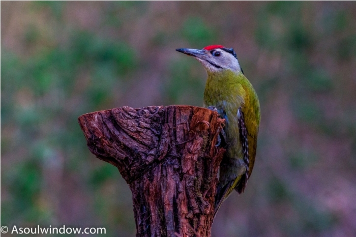 Grey-headed woodpecker Sattal Bhimtal Uttarakhand India