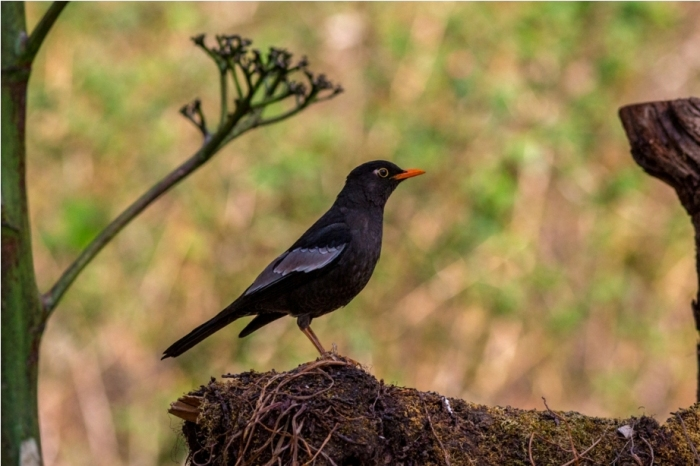 Grey Winged Blackbird Male Sattal Bhimtal Nainital Uttarakhand Birdwatching India