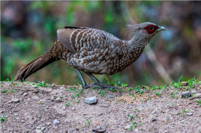 Kalij Pheasant female Birdwatching Sattal Bhimtal Uttarakhand India