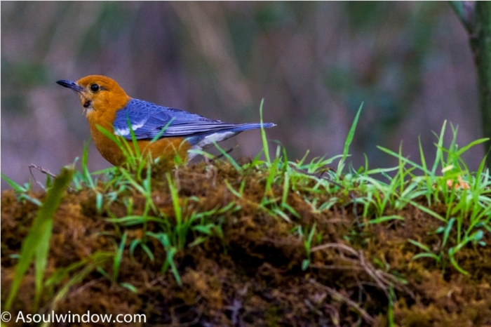 Orange Headed Thrush Sattal Bhimtal Nainital Uttarakhand Birdwatching India