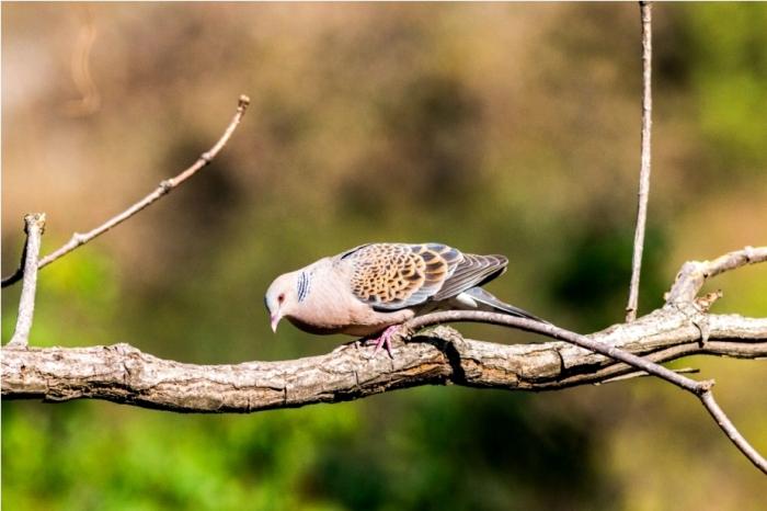 Oriental Turtle Dove Sattal Bhimtal Nainital Uttarakhand Birdwatching India