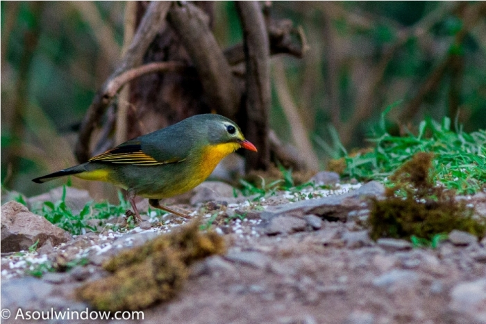 Red Billed Leiothrix Birdwatching Sattal Bhimtal Uttarakhand India