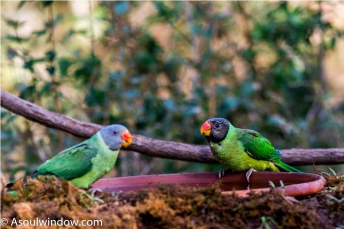 Slaty Headed Parakeet Sattal Bhimtal Nainital Uttarakhand Birdwatching India