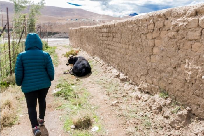 Taklakot Purang Burang China Tibet Yak