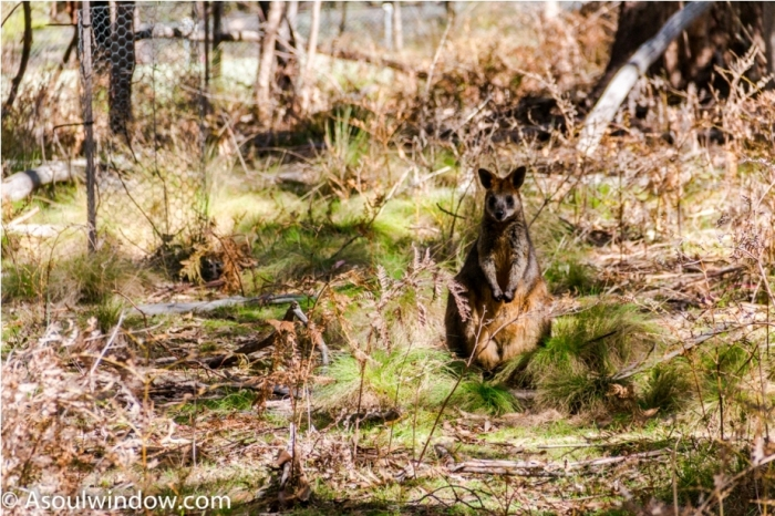 Wallaby kangaroo Tidbinbilla Nature Reserve Canberra