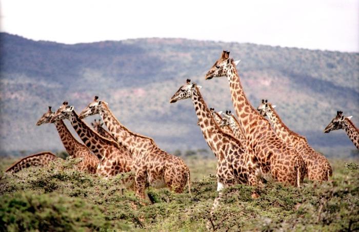 giraffe-657773_960_720