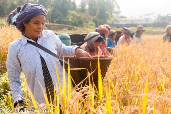 Basar Confluence Bas Con Arunachal Pradesh India harvest