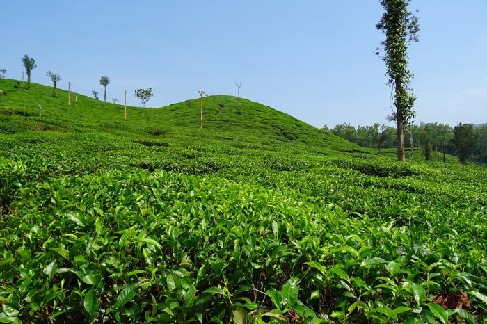 tea-garden-1396457_960_720