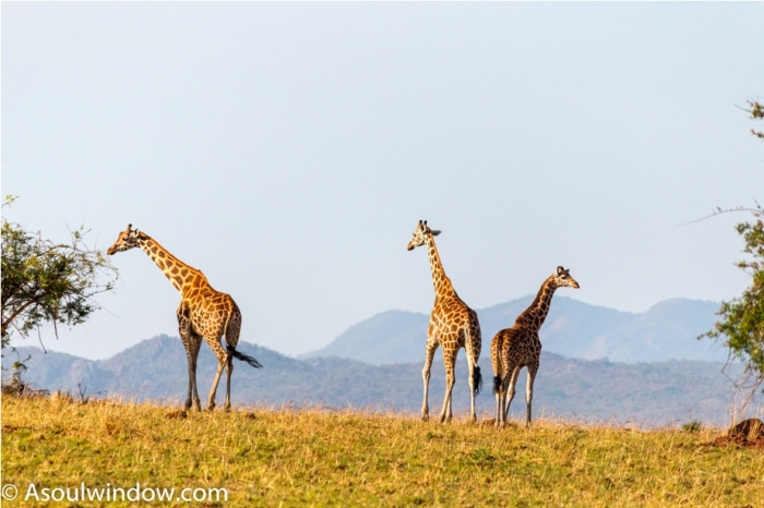 Girrafe Kidepo National Park Uganda Africa (1)