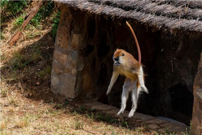 Patas Monkey Kidepo National Park Uganda Africa (7)