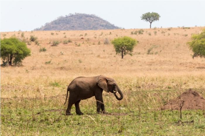 Wild Elephant Kidepo National Park Uganda Africa (8)