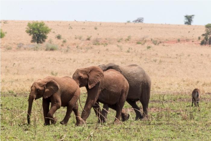 Wild Elephant Kidepo National Park Uganda Africa (9)