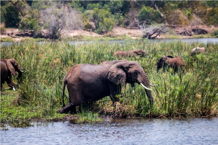 Wild Elephant Murchinson National Park Uganda Africa (27)