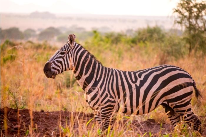 Zebra Kidepo National Park Uganda Africa (38)