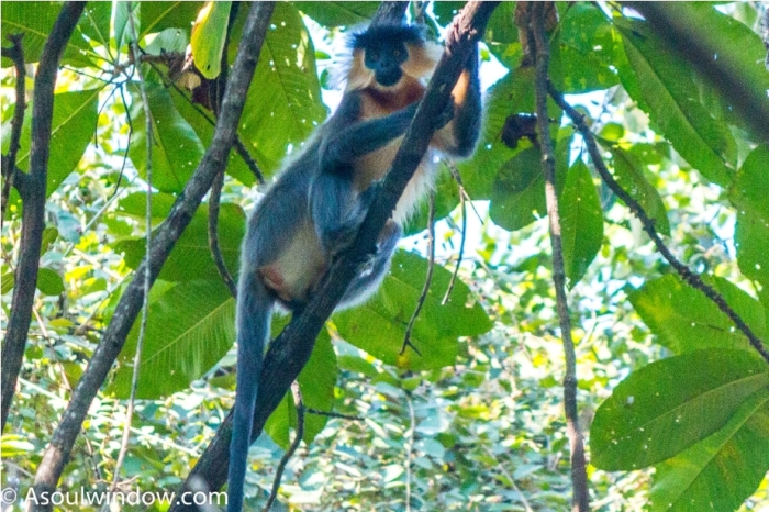 Capped Langur Manas National Park Bodoland Assam India (7)
